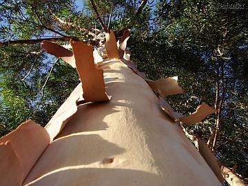 Casca de eucalipto pode virar etanol