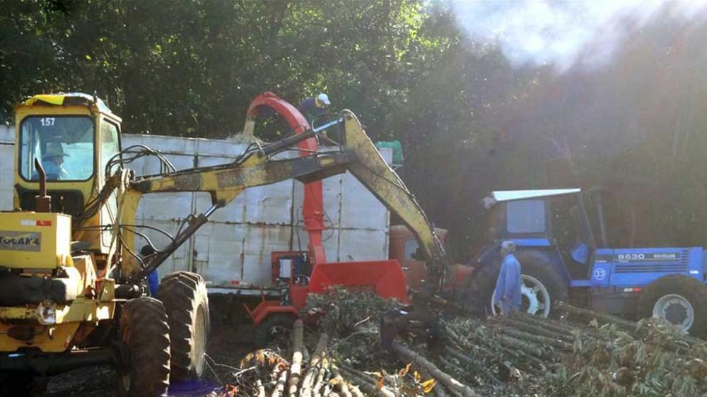 Picando árvores de eucalipto